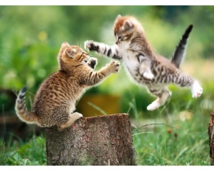 fighting kittens